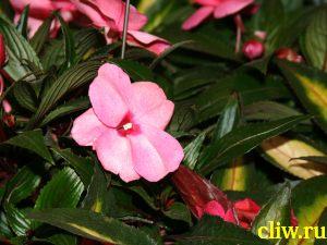 Бальзамин валлера (impatiens walleriana) бальзаминовые (balsaminaceae)