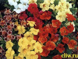 Губастик гибридный (mimulus hybridus) норичниковые (scrophulariaceae)