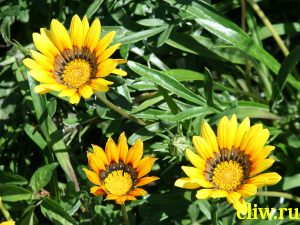 Газания  гибридная (gazania hybrida) астровые (astersceae)