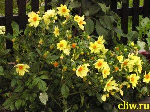 Георгина культурная (dahlia cultorum) астровые (acteraceae)