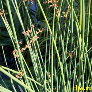 Камыш озерный (scirpus lacustris) осоковые (cyperaceae) zebrinus