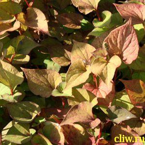 Xауттюйния сердцевидная (houttuynia cordata ) зауруровые (saururaceae)
