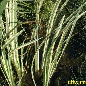 Аир болотный (acorus calamus) аировые (araceae) variegata