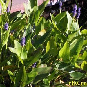 Понтедерия сердцелистная (pontederia cordata) понтедериевые (pontederiaceae)