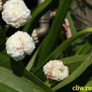 Стрелолист японский (sagittaria japonlca) частуховые (alismaceae) flore pleno