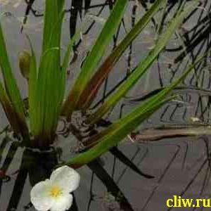 Телорез алоэвидный (stratiotes aloides) водокрасовые (hudrocharitaceae)