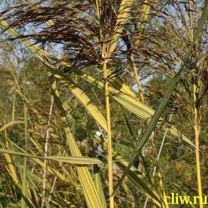 Тростник обыкновенный (phragmites australis) мятликовые (poaceae) variegatus