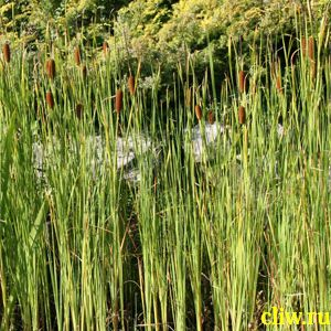 Рогоз узколистный (typha angustifolia) рогозовые (typhaceae)