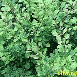 Айва японская (chaenomeles ) розоцветные (rosaceae)