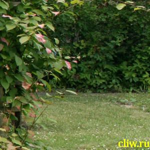 Актинидия коломикта (actinidia kolomikta) актинидиевые (actinidiaceae)