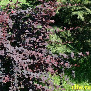 Барбарис оттавский (berberis ) барбарисовые (berberisasea) superba