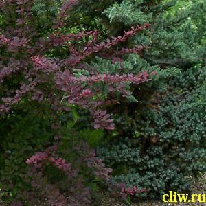 Барбарис тунберга (berberis thunbergii) барбарисовые (berberisasea) atropurpurea