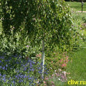 Береза бородавчатая (betula verrucosa) березовые (betulaceae) youngii