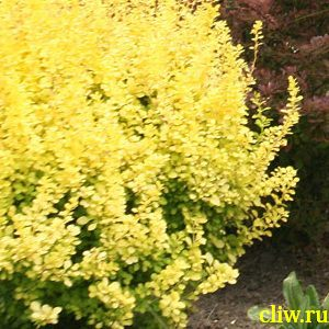 Барбарис тунберга (berberis thunbergii) барбарисовые (berberidaceae) aureum