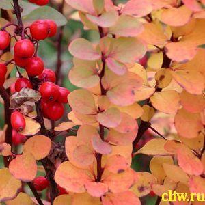 Барбарис тунберга (berberis thunbergii) барбарисовые (berberidaceae) erecta