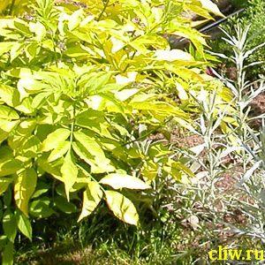 Бузина черная (sambucus nigra) жимолостные (caprifoliaceae) aurea