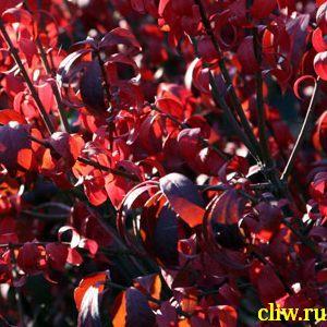 Бересклет крылатый (euonymus alata) бересклетовые (celastraceae)
