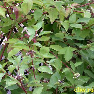 Дерен белый (cornus alba) деренные (cornaceae) sibirica