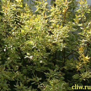 Дерен белый (cornus alba) кизиловые (cornaceae) spaethii