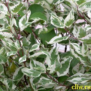 Дерен белый (cornus alba) деренные (cornaceae) elegantissima