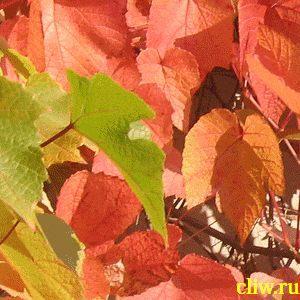 Виноград амурский (vitis amurensis) виноградовые (vitaceae)