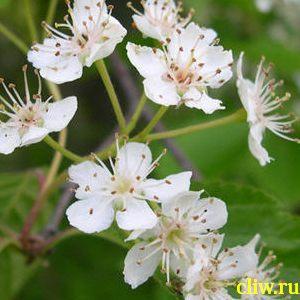 Вишня  (prunus ) розоцветные (rosaceae)