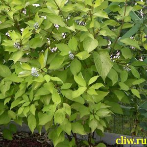 Дерен белый (cornus alba) кизиловые (cornaceae) aurea