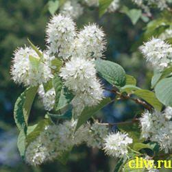 Вишня маака (cerasus maackii) розоцветные (rosaceae) снежный шар