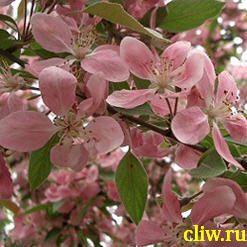 Вишня остропильчатая (cerasus serrulata)  ()