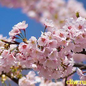 Вишня саржента (cerasus sargentii) розоцветные (rosaceae)