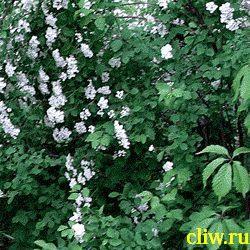 Спирея ван-гутта (spiraea vanhouttei) розоцветные (rosaceae)