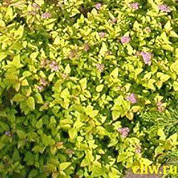 Спирея японская (spiraea japonica) розоцветные (rosaceae) goldmound