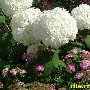 Гортензия древовидная (hydrangea ) гортензиевые (hydrangeaceae) anabelle