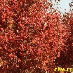 Клен красный (acer rubrum) кленовые (aceraceae)