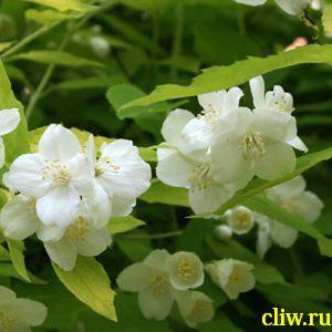 Чубушник венечный (philadelphus coronarius) гортензиевые (hydrangeaceae) aureus