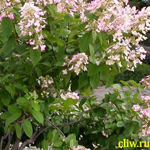 Гортензия метельчатая (hydrangea paniculata) гортензиевые (hydrangeaceae ) grandiflora