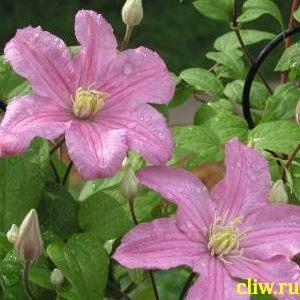 Клематис  (clematis ) лютиковые (ranunculaceae) comtesse de bouchaud
