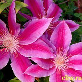 Клематис  (clematis ) лютиковые (ranunculaceae) doctor ruppel