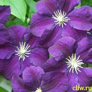 Клематис  (clematis ) лютиковые (ranunculaceae) etoile violette