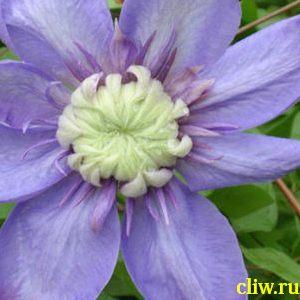 Клематис  (clematis ) лютиковые (ranunculaceae) blue light