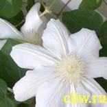 Клематис  (clematis ) лютиковые (ranunculaceae) madame le coultre