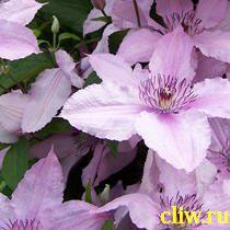 Клематис  (clematis ) лютиковые (ranunculaceae) hagley hybrid