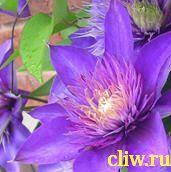 Клематис  (clematis ) лютиковые (ranunculaceae) multi blue