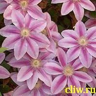 Клематис  (clematis ) лютиковые (ranunculaceae) nelly moser