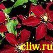 Клематис  (clematis ) лютиковые (ranunculaceae) niobe
