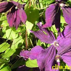 Клематис  (clematis ) лютиковые (ranunculaceae) mephistophel