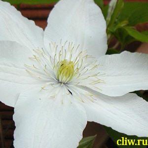 Клематис  (clematis ) лютиковые (ranunculaceae) рассвет
