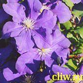 Клематис  (clematis ) лютиковые (ranunculaceae) синее пламя