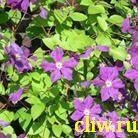 Клематис  (clematis ) лютиковые (ranunculaceae) юбилейный-70