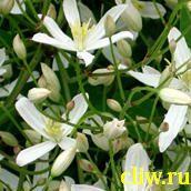Клематис прямой (clematis eracta) лютиковые (ranunculaceae)
